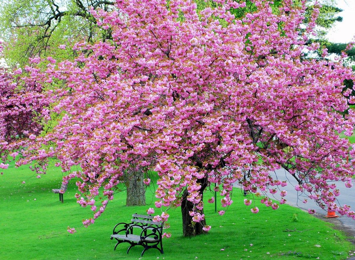 цветущие деревья во дворе  № 532074 без смс