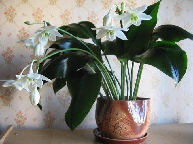 Цветок спатифиллум: почему цветы зеленые, а не белые, нормально ли это