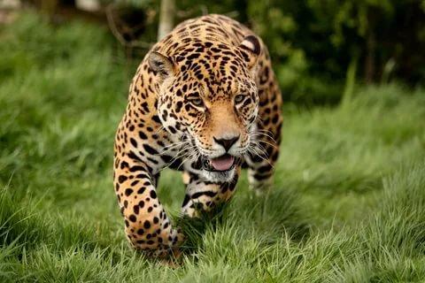 леопард обои на телефон № 190746 без смс