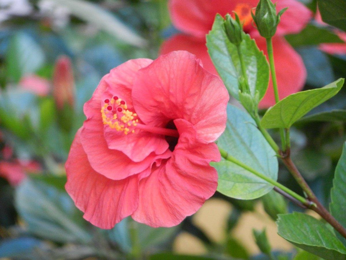 Цветок розан домашний уход фото