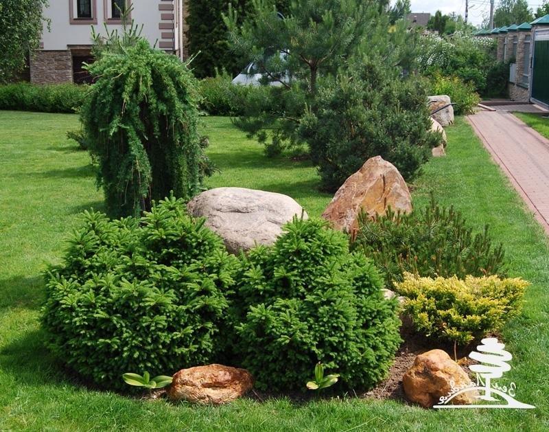 цены на хвойные растения фото и названия