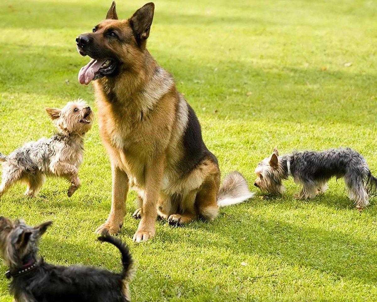Тренировка овчарки в домашних условиях