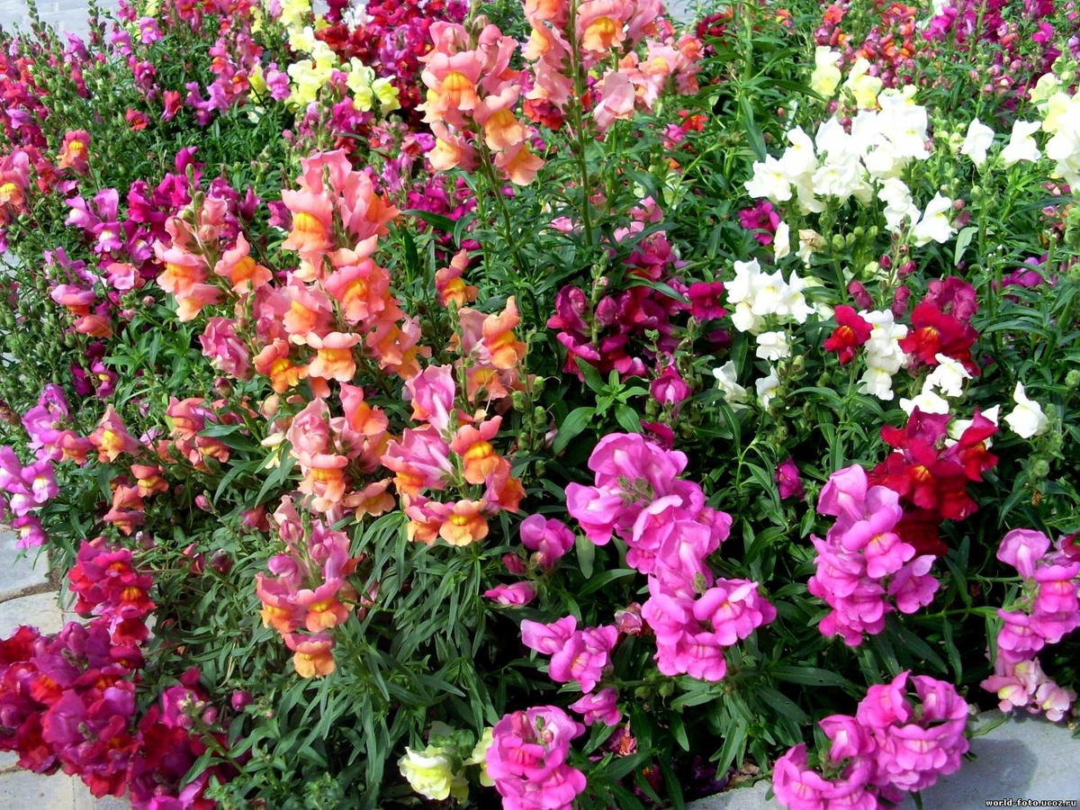 Комнатный цветок, цветущий круглый 68