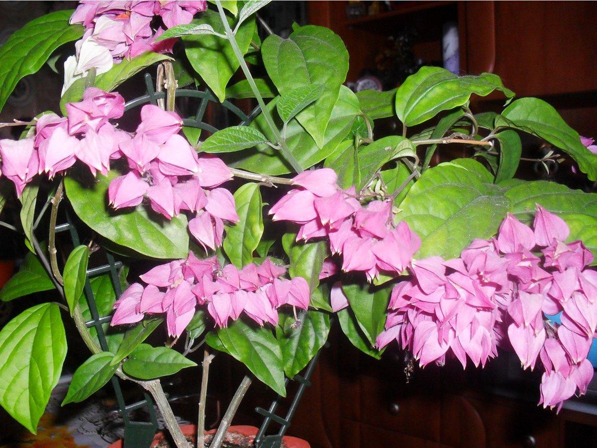 Цветок госпожа томпсон фото