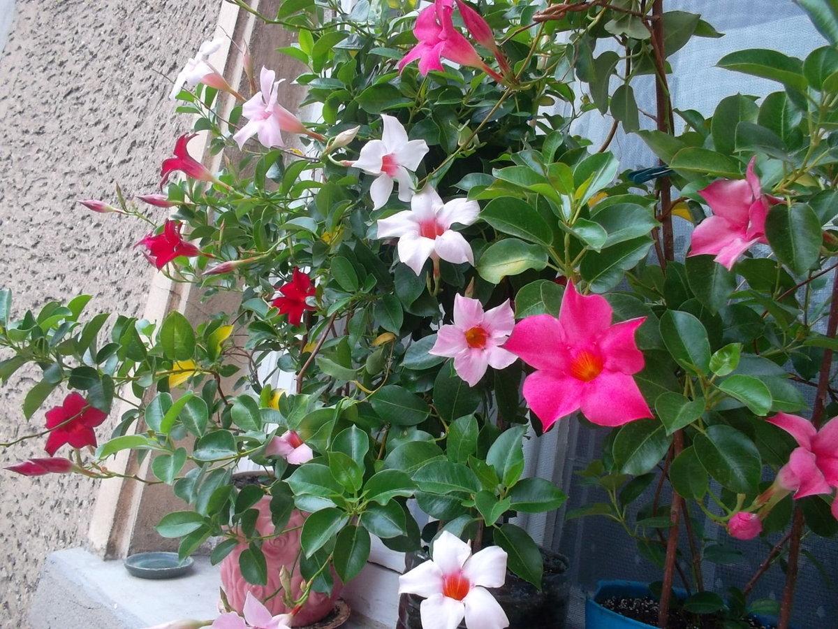 Цветы лианы для дома фото и названия