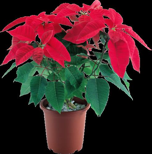 30Комнатный цветок с красно-зелеными листьями