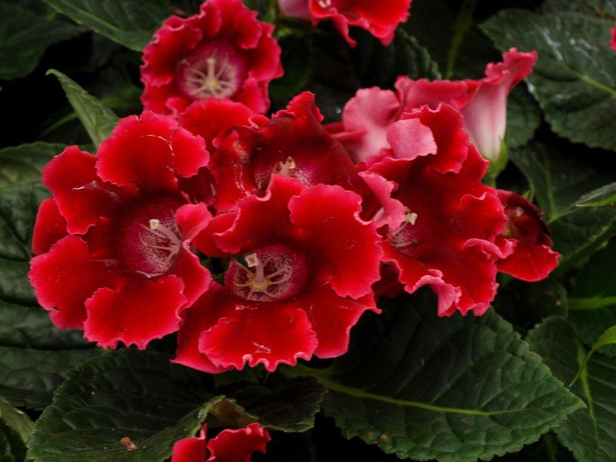Глоксиния: уход в домашних условиях Комнатный цветок 33