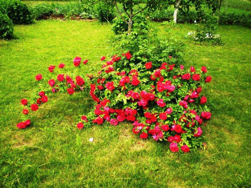 Выращивание карликовых роз в открытом грунте 74