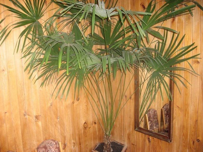 Как ухаживать за домашней пальмой в домашних условиях 238