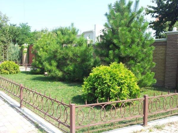 Фото кедра в ландшафтном дизайне
