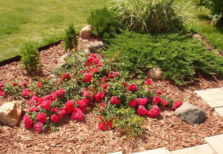 Почвопокровная роза в ландшафтном дизайне