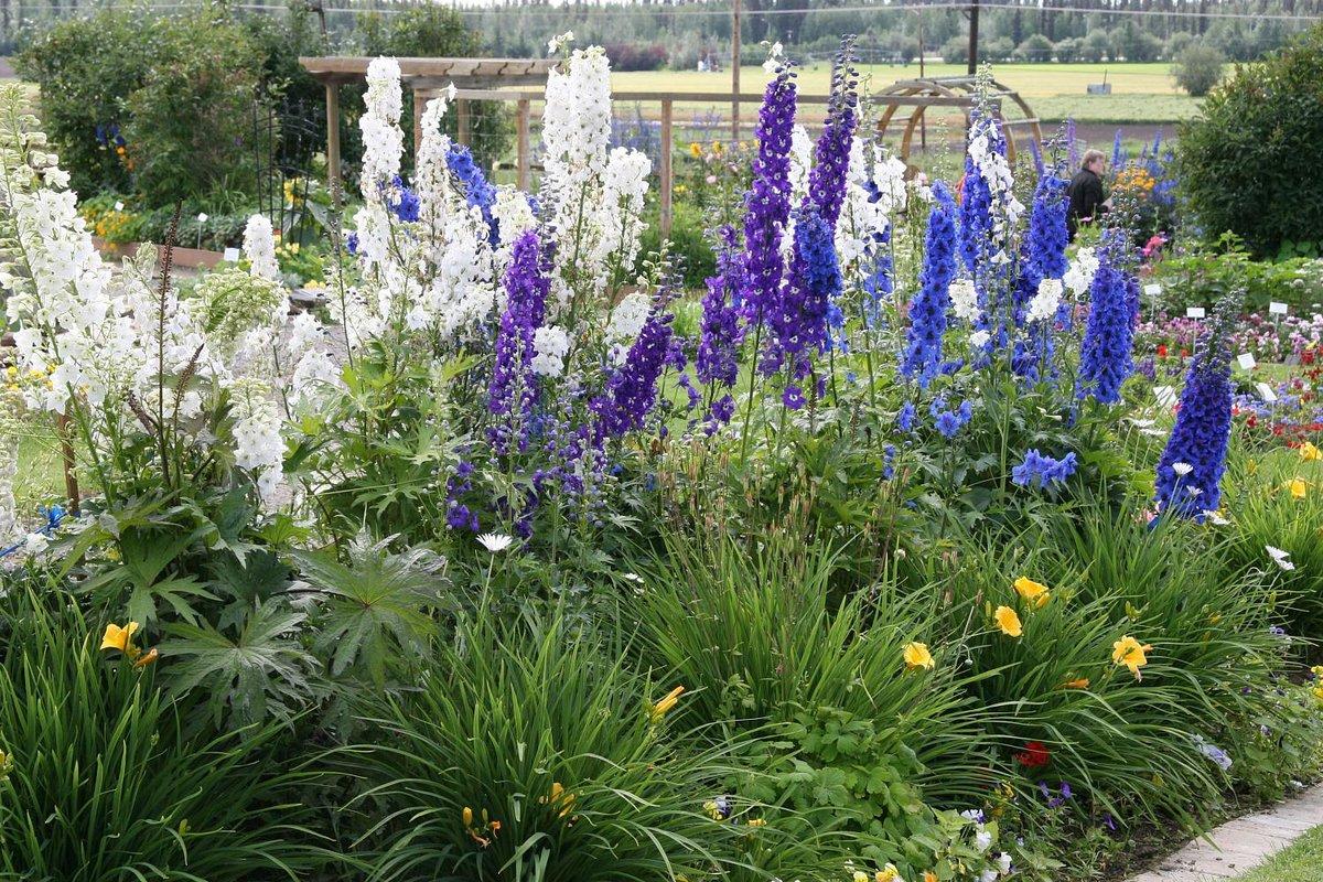 Садовые цветы дельфиниум: фото, описание, посадка, уход в 55