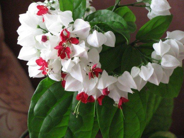 Цветы комнатные и уход цветущие