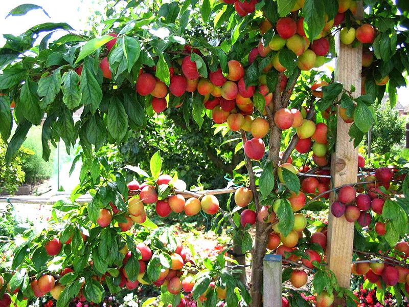 Интенсивное выращивание сливы 73