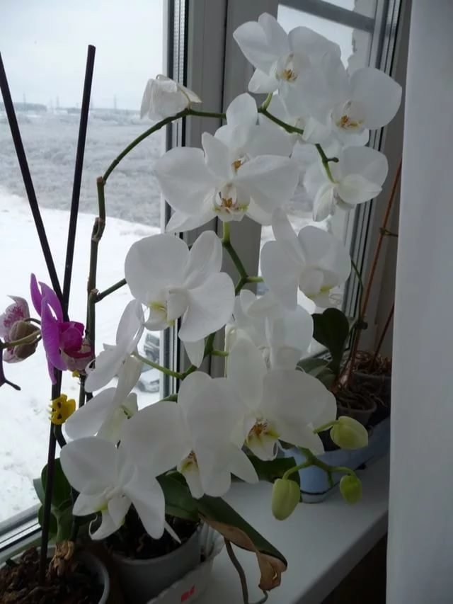 Белая орхидея уход в домашних условиях