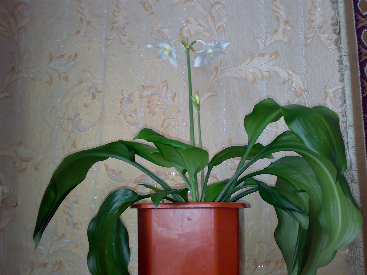 Фото цветка с широкими длинными листьями
