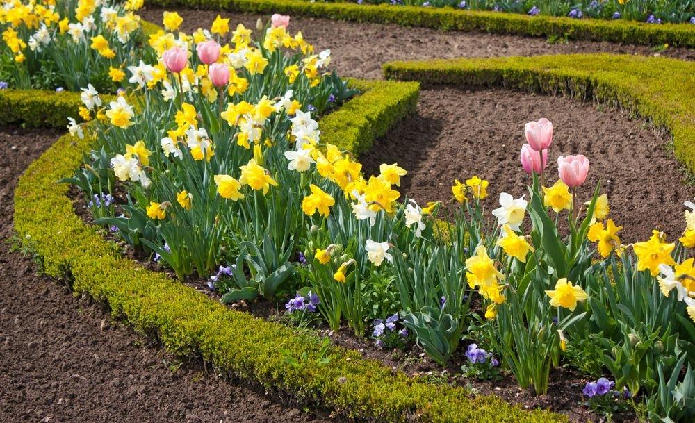 Как сделать клумбу для тюльпанов с нарциссами