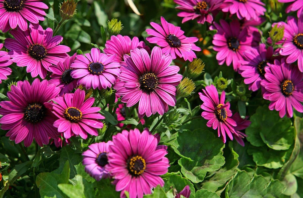 Однолетние цветы в грунт фото