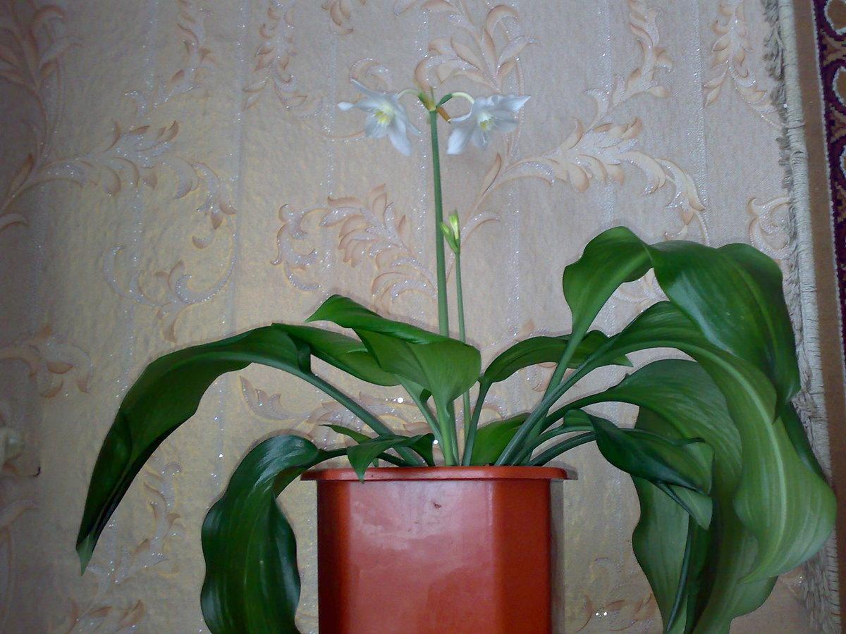 Названия луковичных комнатных цветов фото