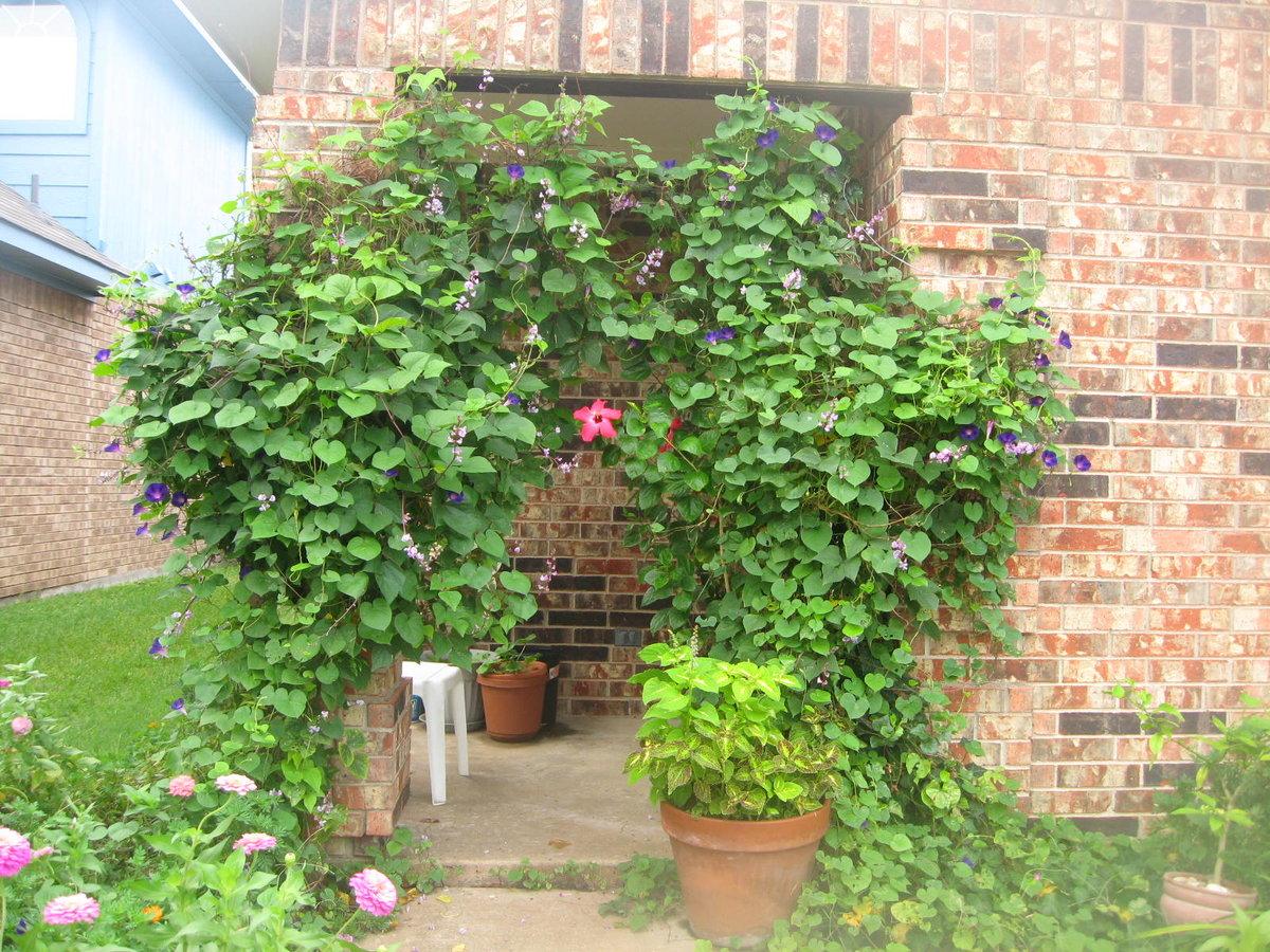 Вьющиеся цветы для сада фото название