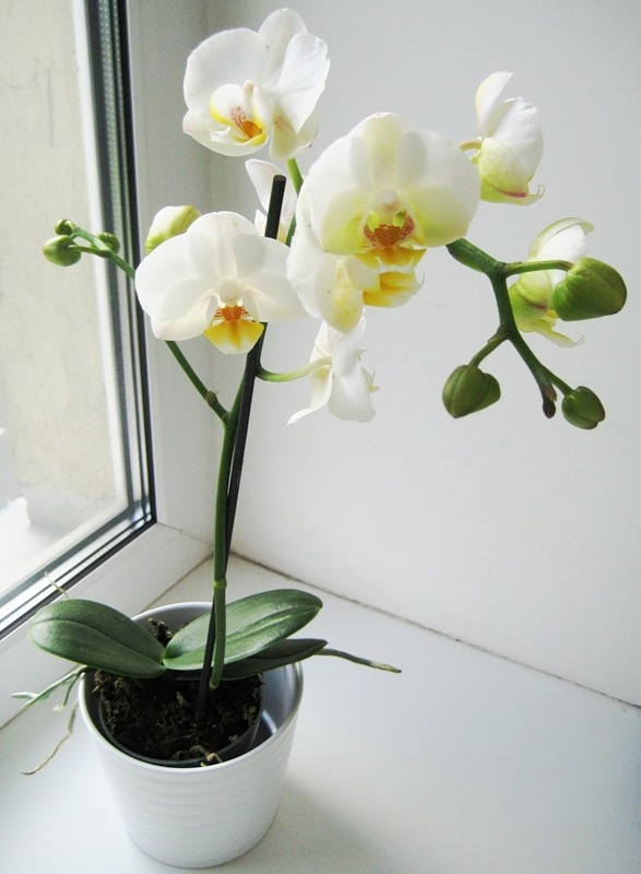 Домашние цветы орхидеи