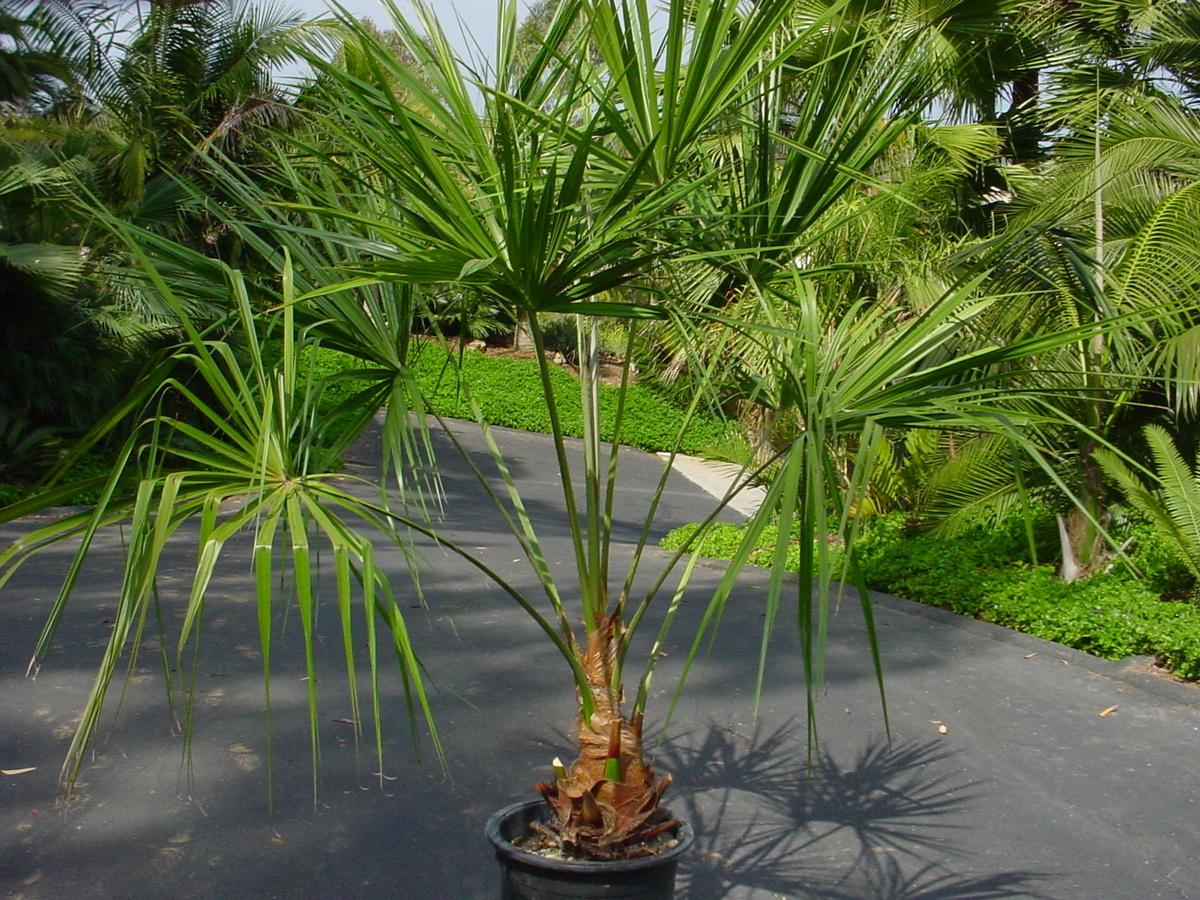 Домашние пальмы - разновидности комнатных пальм, фото с 91