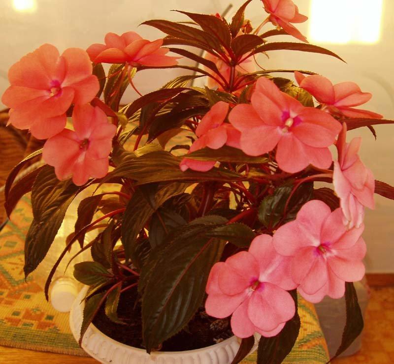 Огонек цветок уход в домашних условиях