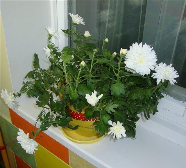 Обрезка хризантемы в горшке в домашних условиях 78