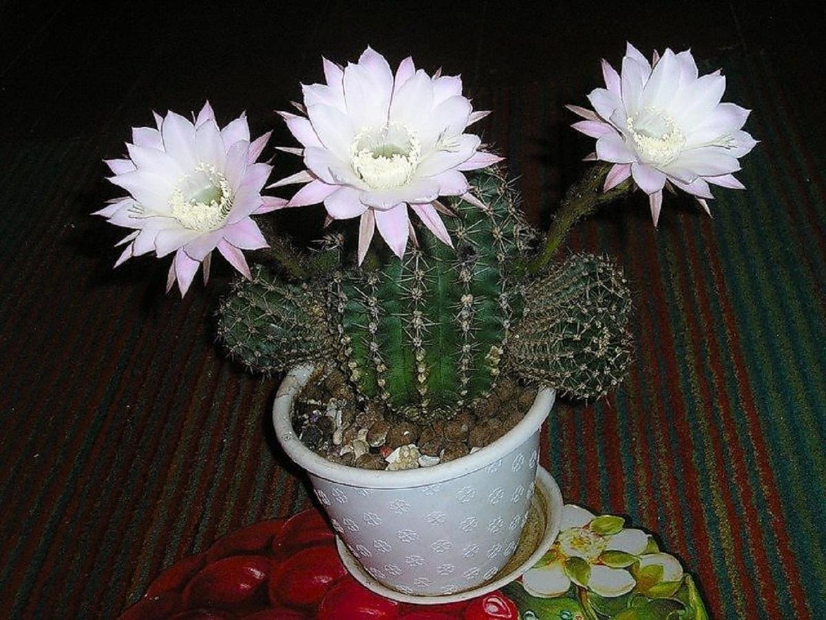 Цветение кактусов в домашних условиях: фото, как заставить 39
