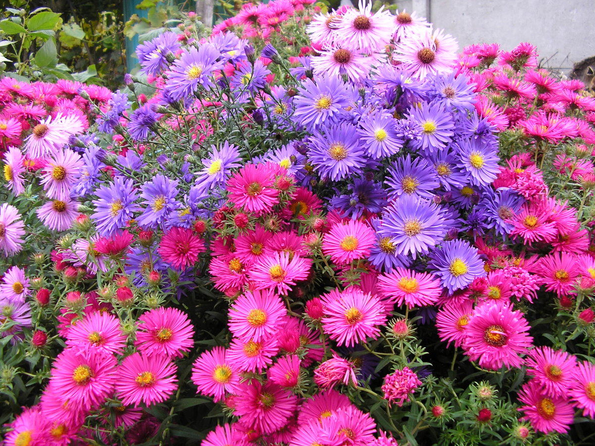 Астра многолетняя фото цветы