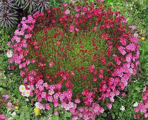Фото почвопокровные цветы для сада