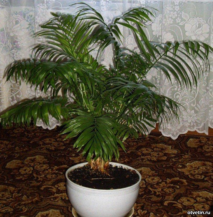 Домашняя пальма ховея уход в домашних условиях