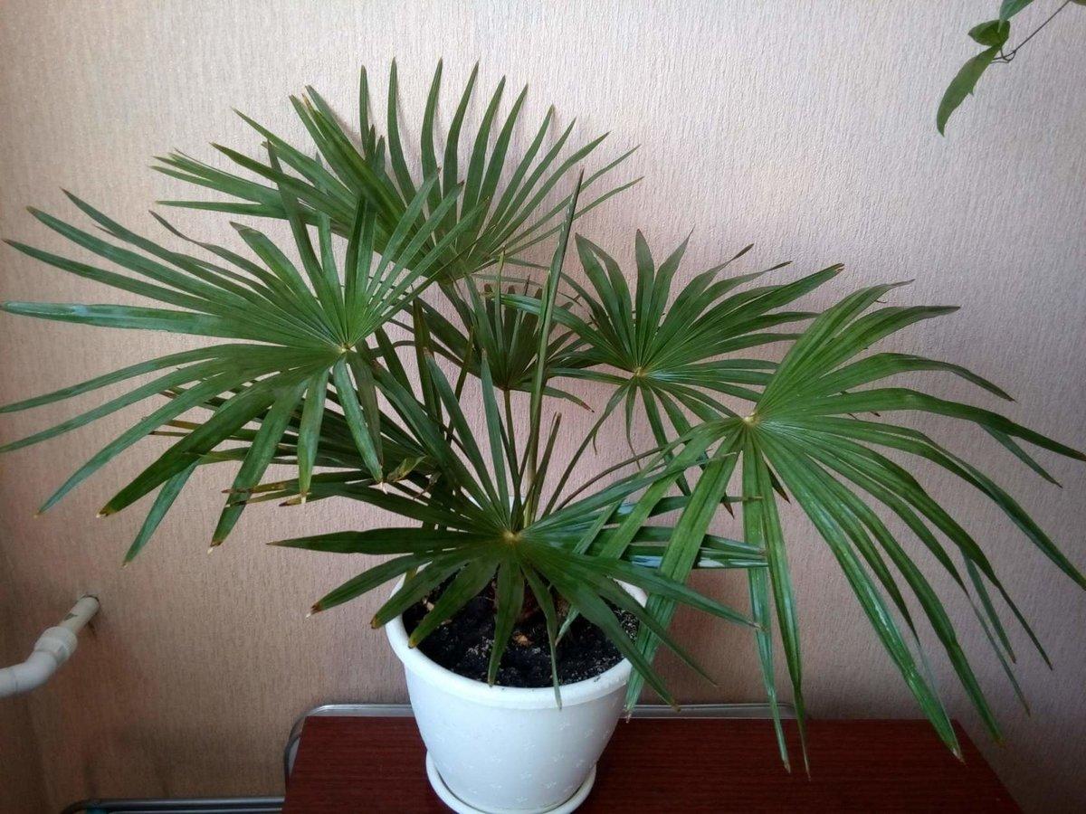 Пальма домашняя сохнут листья уход в домашних условиях 265