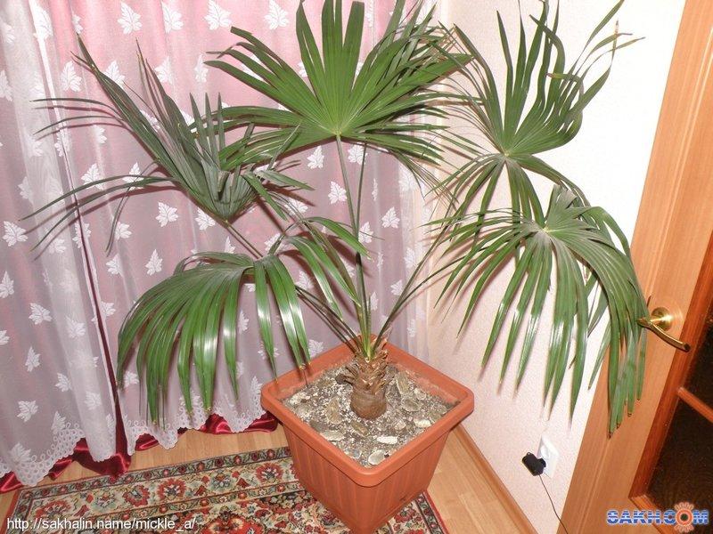 Трахикарпус цветов