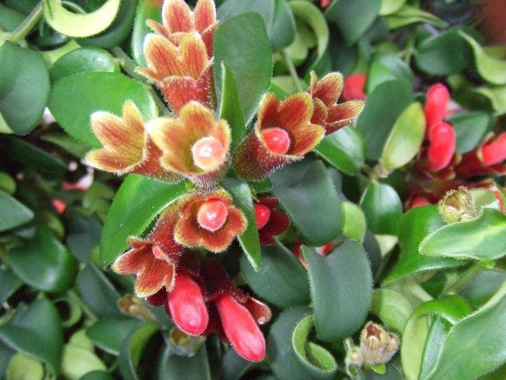 Lipstick plant уход и выращивание 43