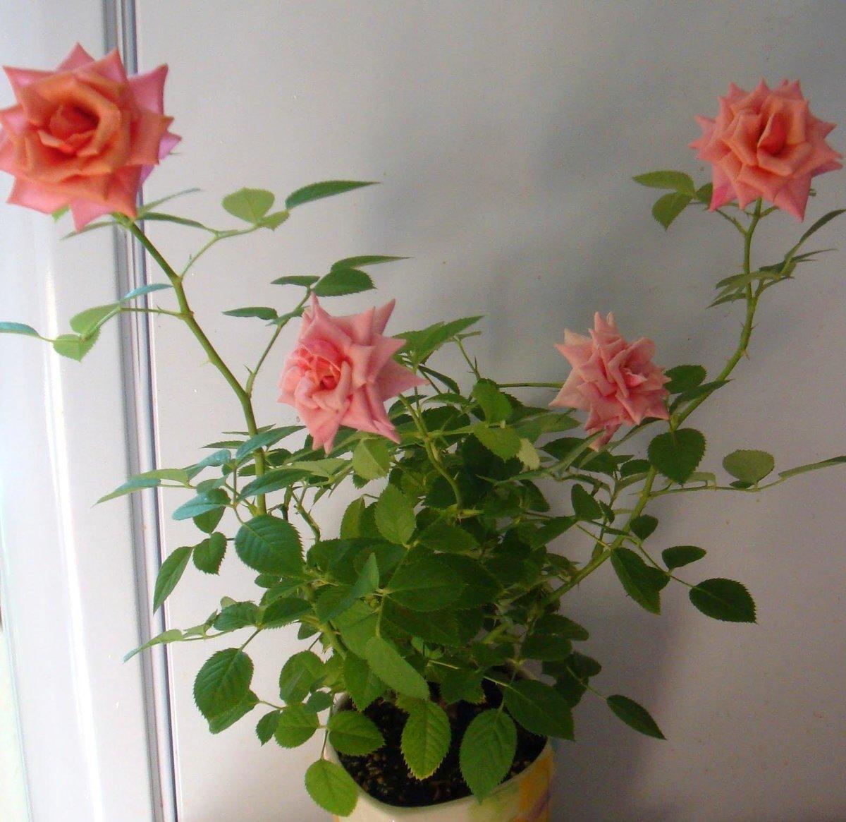 Домашний цветок роза фото размножения