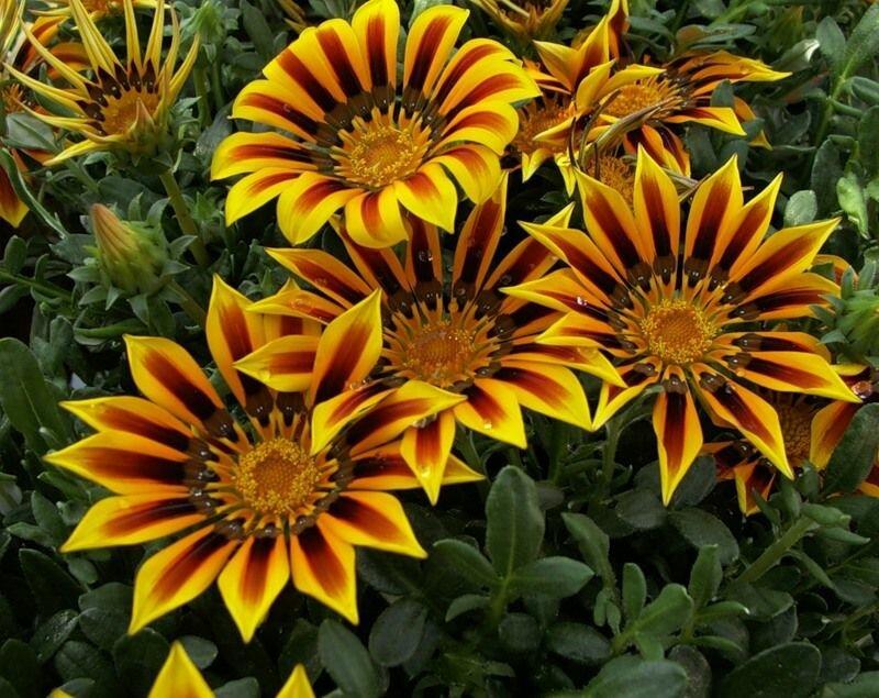 Выращивание однолетних и многолетних цветов 8374