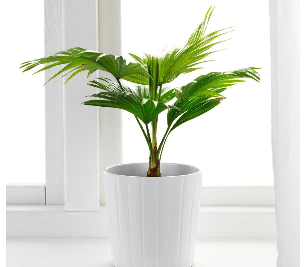 Комнатные пальмы уход в домашних условиях фото
