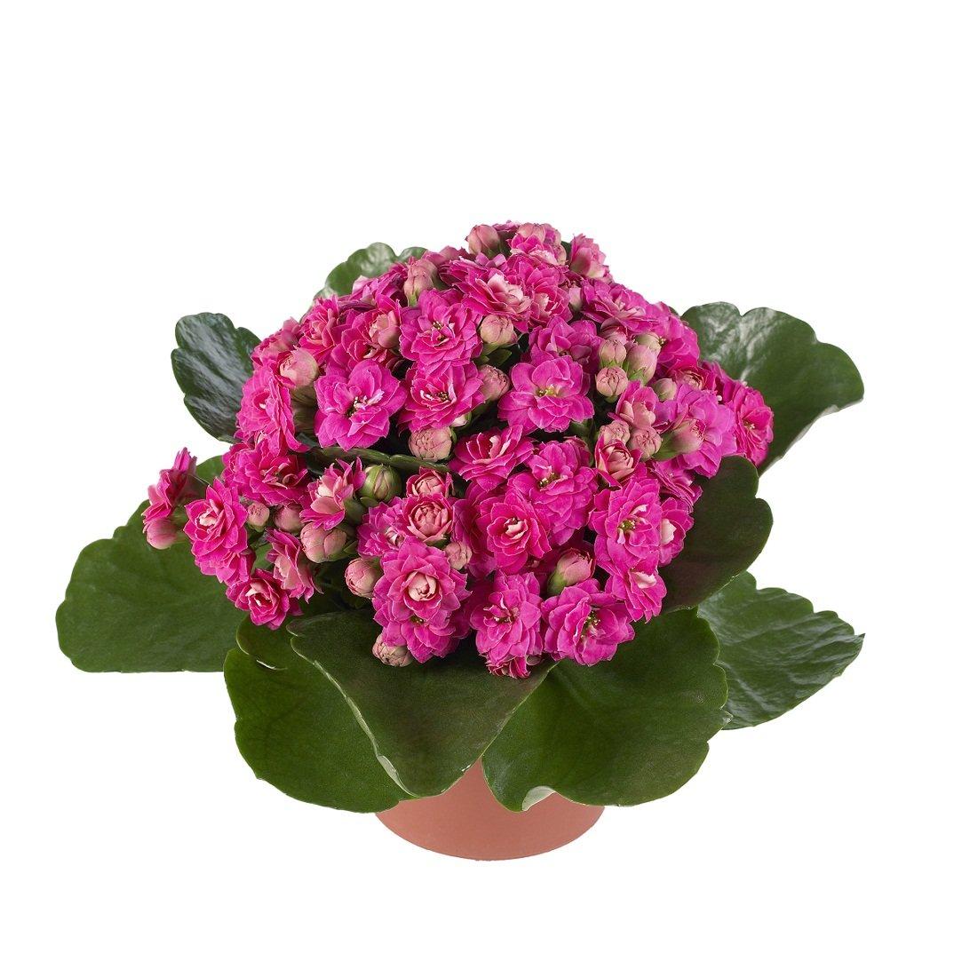 Можно ли дарить цветы в горшках 85