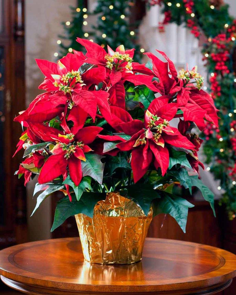 Рождественский цветок с красными цветами