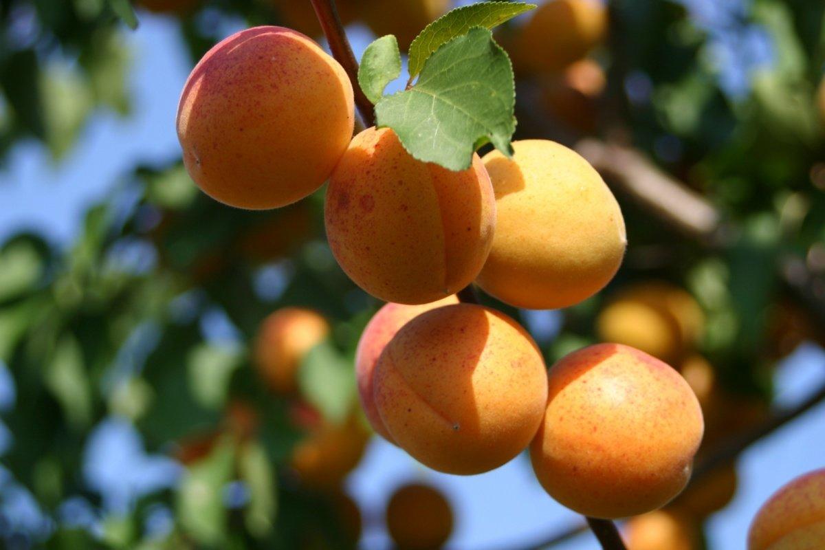 Выращивание абрикоса в тамбове 96