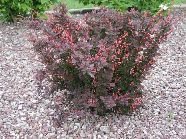 Как сажать кусты барбариса осенью 25