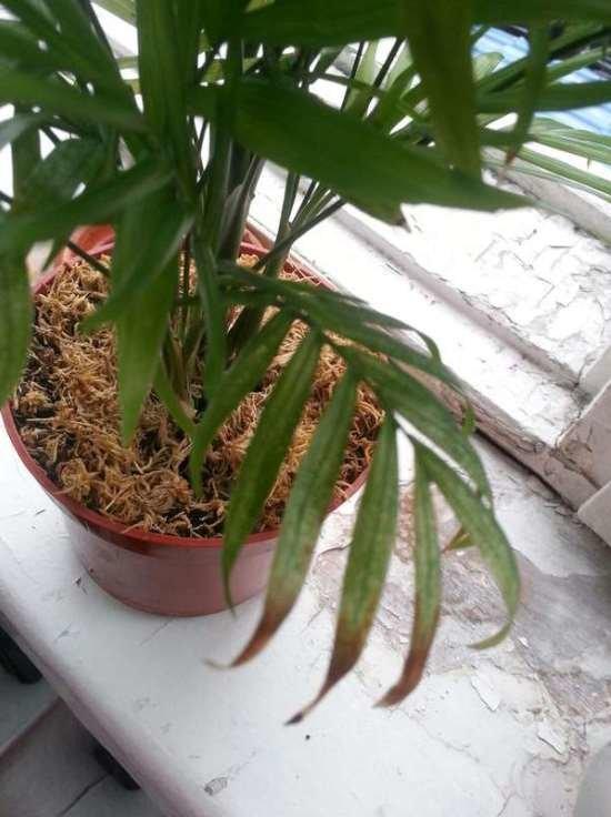 Пальма домашняя сохнут листья уход в домашних условиях 791