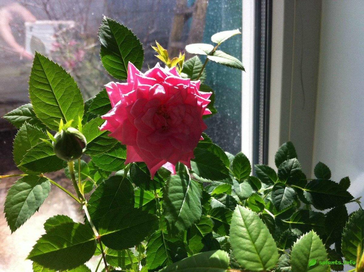 Комнатные цветы роза