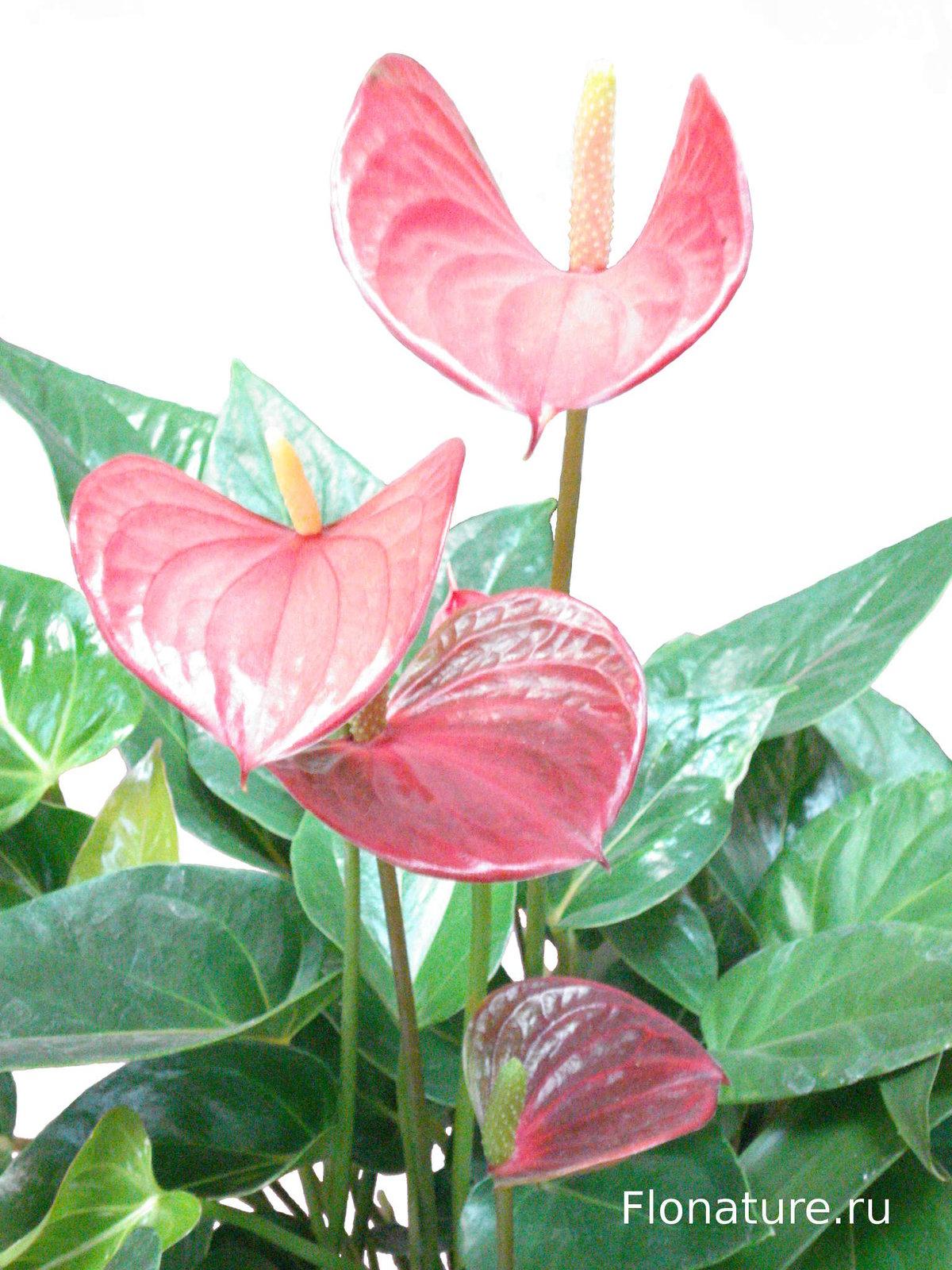 Уход за антуриумом - Комнатные растения и цветы