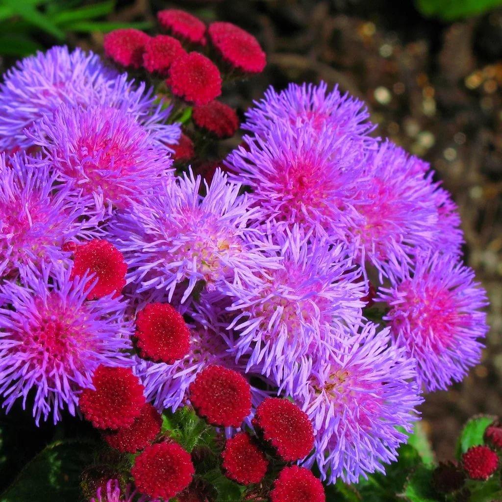 Все о цветах агератум фото