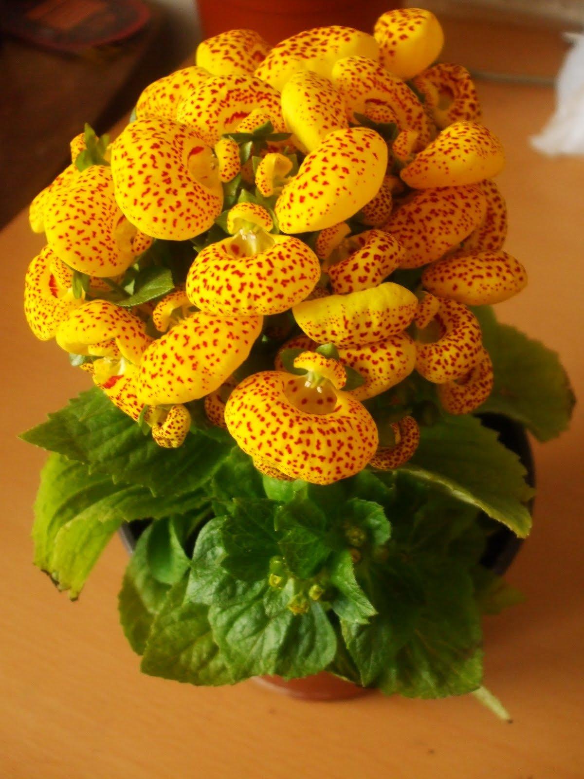 Выращивание кальцеолярии из семян фото