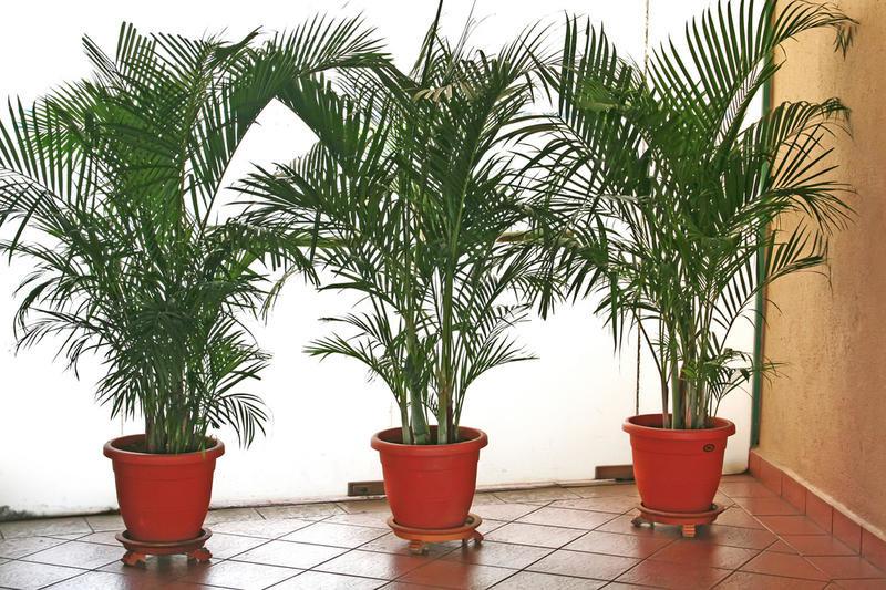 Как ухаживать за домашней пальмой в домашних условиях 164