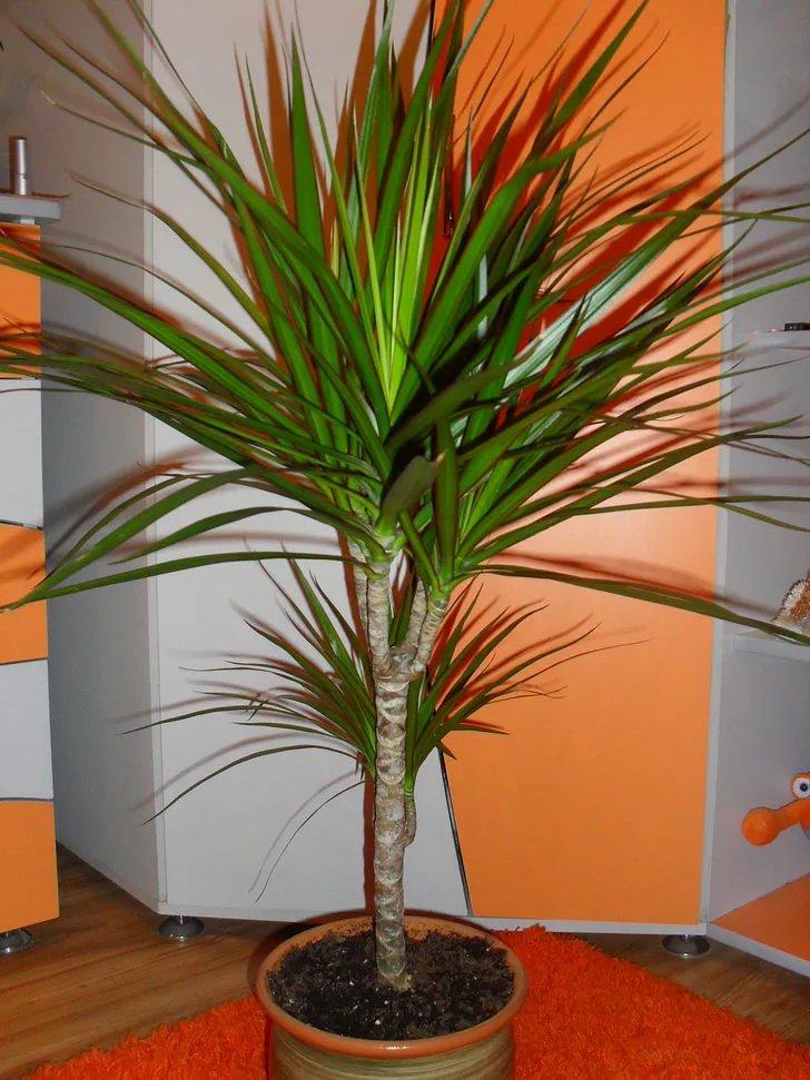 Комнатная пальма : фото и названия видов, как ухаживать 88