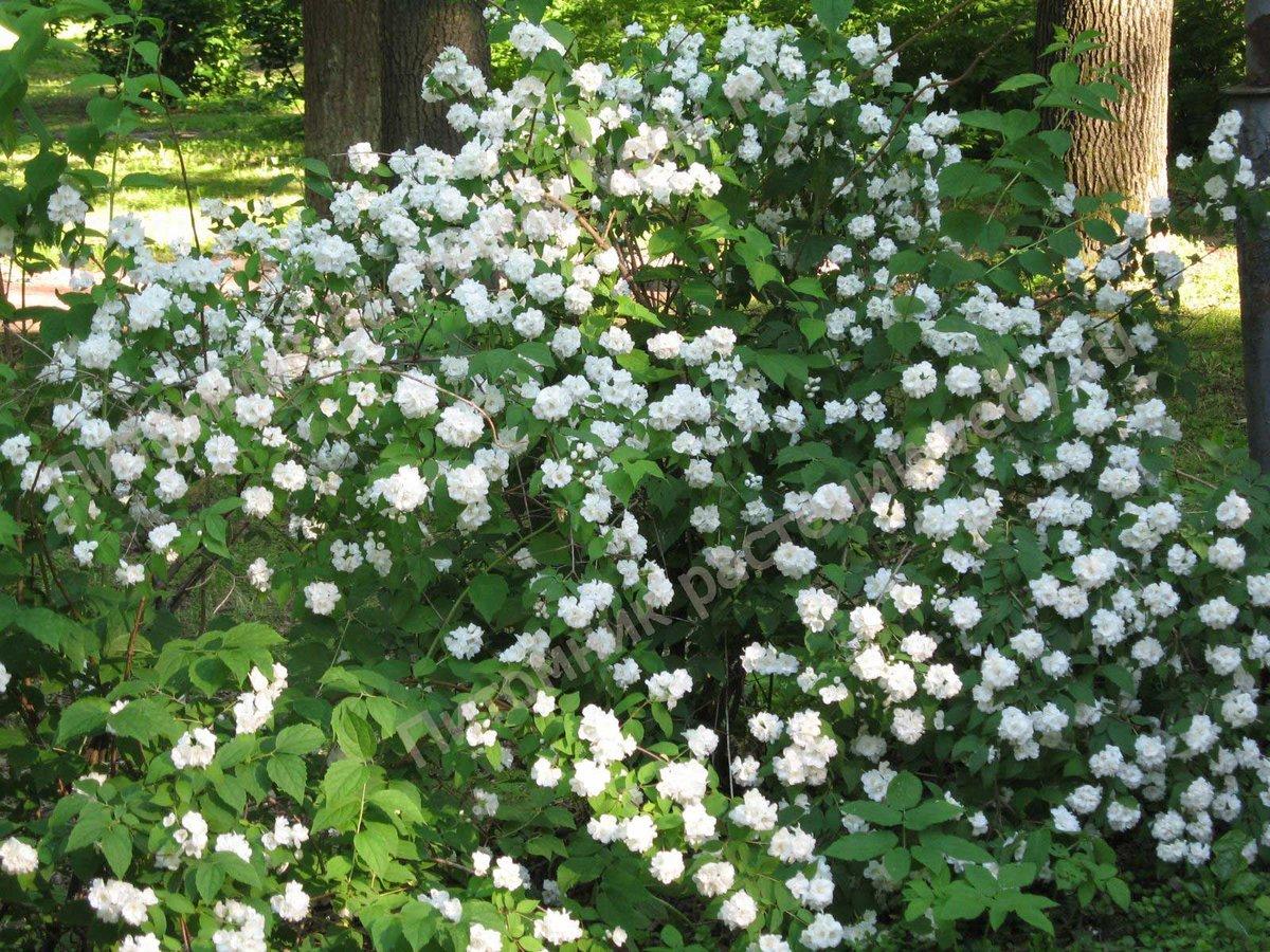 Белые цветы в саду названия и фото